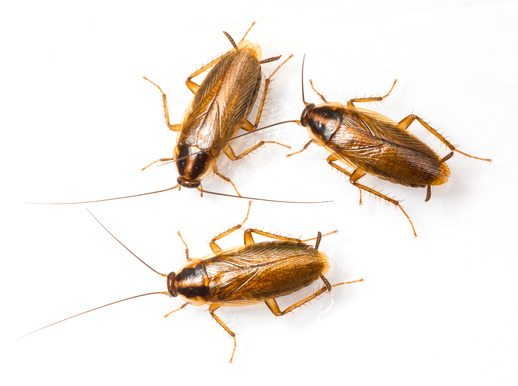 Cockroaches In Kitchen Appliances